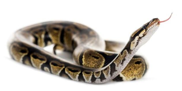 Interprétation du rêve de serpent